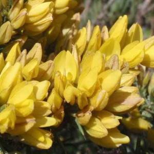 スタウラカントゥス・スぺクタビリス Stauracanthus spectabilis
