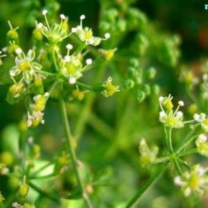 ペトロセリヌム・ネアポリタヌム Petroselinum neapolitanum