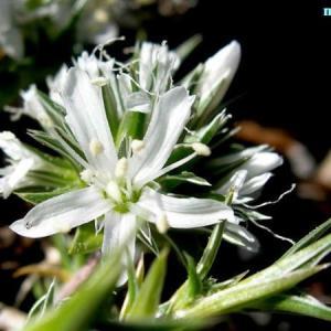 アレナリア・クエリオイデス Arenaria querioides