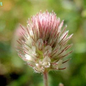 トリフォリュウム・アルヴェンセ Trifolium arvense