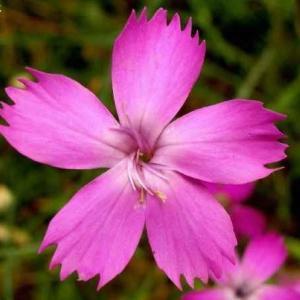 ダイアンサス・ルシタヌス  Dianthus lusitanus