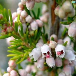 エリカ・アルボレア Erica arborea
