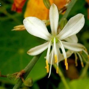 アンテリクム・ラモスム Anthericum ramosum