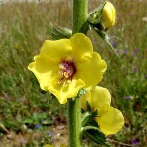 ヴェルバスクム・シヌアトゥム Verbascum sinuatum