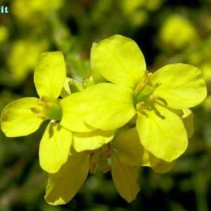 ヒルスキフェルディア・インカナ Hirschfeldia incana