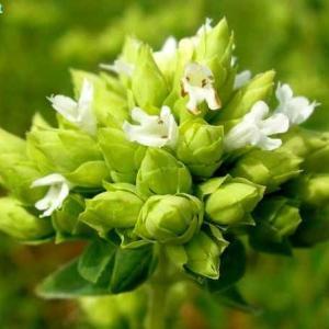 オリガヌム・ヴルガレ Origanum vulgare