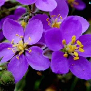 スペルグラリア・プルプレア Spergularia purpurea