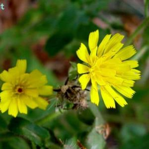 ピクリス・ヒエラキオイデス Picris hieracioides