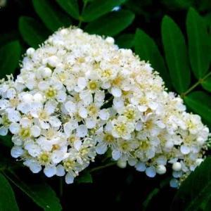 ソルブス・アウクパリア Sorbus aucuparia
