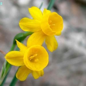 ナルキッスス・カルシコラ Narcissus calcicola