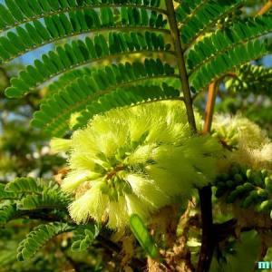 アカシア・グレグギイ Acacia greggii