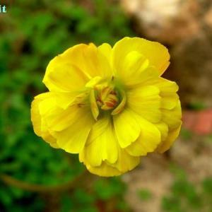 オキザリス・ぺス・カプラエ・プレニフローラ Oxalis pes-capree var.pleniflora