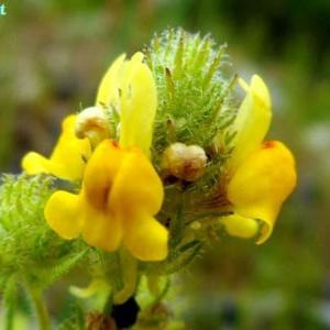 リナリア・サクサティリス Linaria saxatilis
