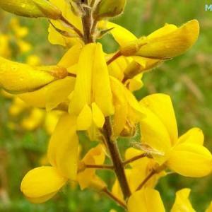 アデノカルプス・コンプリカツス Adenocarpus complicatus