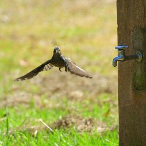 水道蛇口から水を飲むヒヨドリ