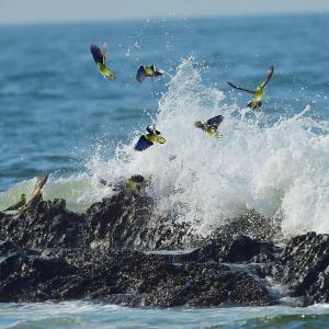 アオバトの波被り! ①