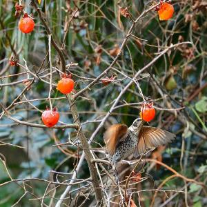 熟柿を食べに、ツグミ&シロハラが。。。!?