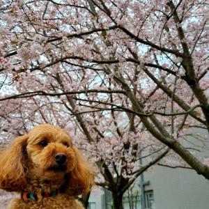 ワンコとお花見~春を満喫~