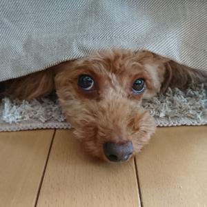 わが家の癒し~愛犬  コロ~