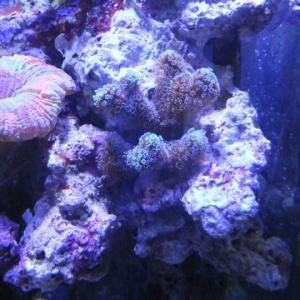 オトヒメ珊瑚を分けてみました
