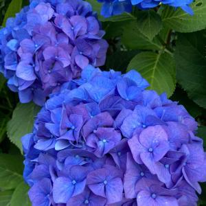 紫陽花 = マジかい