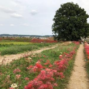 矢勝川堤の300万本の真っ赤な彼岸花! 愛知県半田市