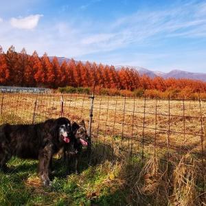 紅葉のメタセコイア並木