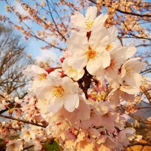 浜の桜も綺麗だよ