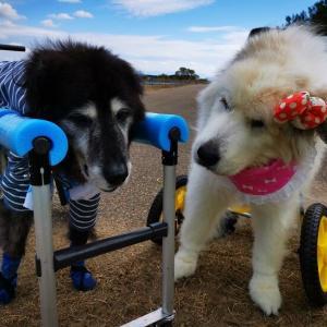 超大型犬の会「BIGBURN100」の900頭記念オフ会だ!
