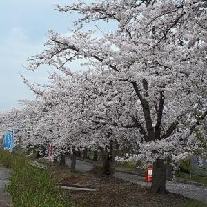 みちのくの春・さくら2019;高畠町まほろば緑道の桜のトンネル