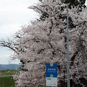 みちのくの春・さくら2019;高畠町の資福寺跡
