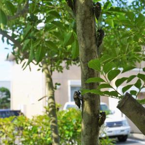 セミのなる木??とオブシディアンの蝉