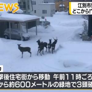 【江別市】野幌駅付近の住宅街にシカの群れが出没(2021年1月14日)