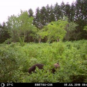 北広島市でヒグマ駆除 江別市・野幌森林公園の熊と同一個体(2019年9月5日)