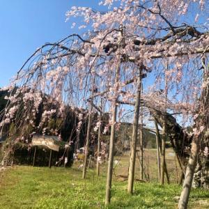 畑(はた)のしだれ桜