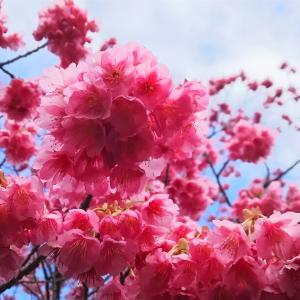 土肥桜(令和初の桜ライド、金目煮魚定食、雪、常春の伊豆、黄金崎)