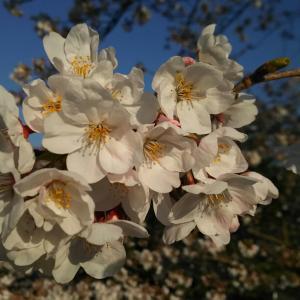 染井吉野(令和2年10回目桜ライド、山北鉄道公園、御殿場線沿い桜並木の通り、酒匂川、満開の桜)