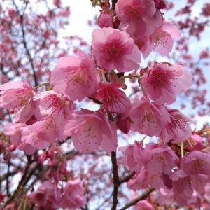 土肥桜ライド(令和3年今年初桜ライド、菜の花、土肥、西伊豆、宇久須、金目鯛)