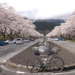 冨士霊園と山北町の染井吉野(令和3年10回目桜ライド、桜満開)