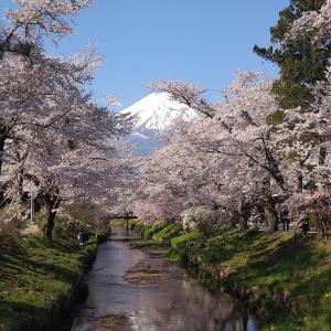 忍野村の染井吉野(今年最後の桜ライド、山中湖、新名庄川、二十曲峠、満開の桜)
