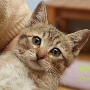 キジトラ猫(男の子)アルくんの譲渡先募集