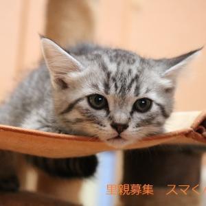 サバトラ猫(男の子)スマくんの譲渡先募集
