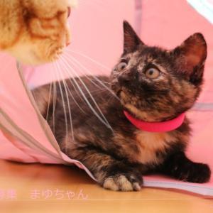 さび猫(女の子)まゆちゃんの譲渡先募集