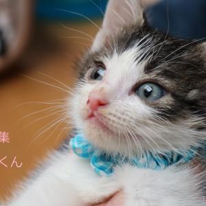 キジ白猫(男の子)マリモくんの譲渡先募集