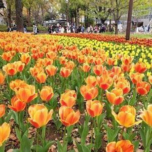 横浜公園のチューリップ♪
