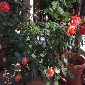 いいお天気で薔薇が・・・一気に咲いていました