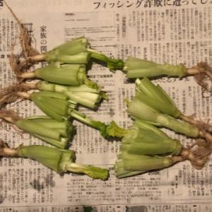 懲りずに小松菜成長記 ~そのいち~