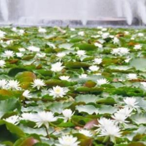 ◆純白のスイレン、噴水と競演 天草市!