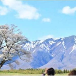 ◆雄大な岩手山を背に雫石町丸谷地の小岩井農場では、一本桜が見頃