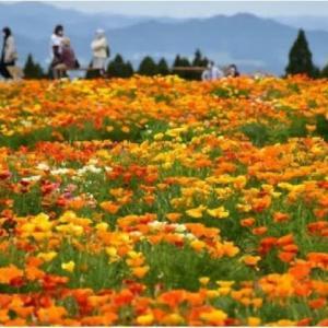 ◆小林市の生駒高原の約25万本のポピーが見頃・・・・・桜の花に代わって寂しさを潤す?